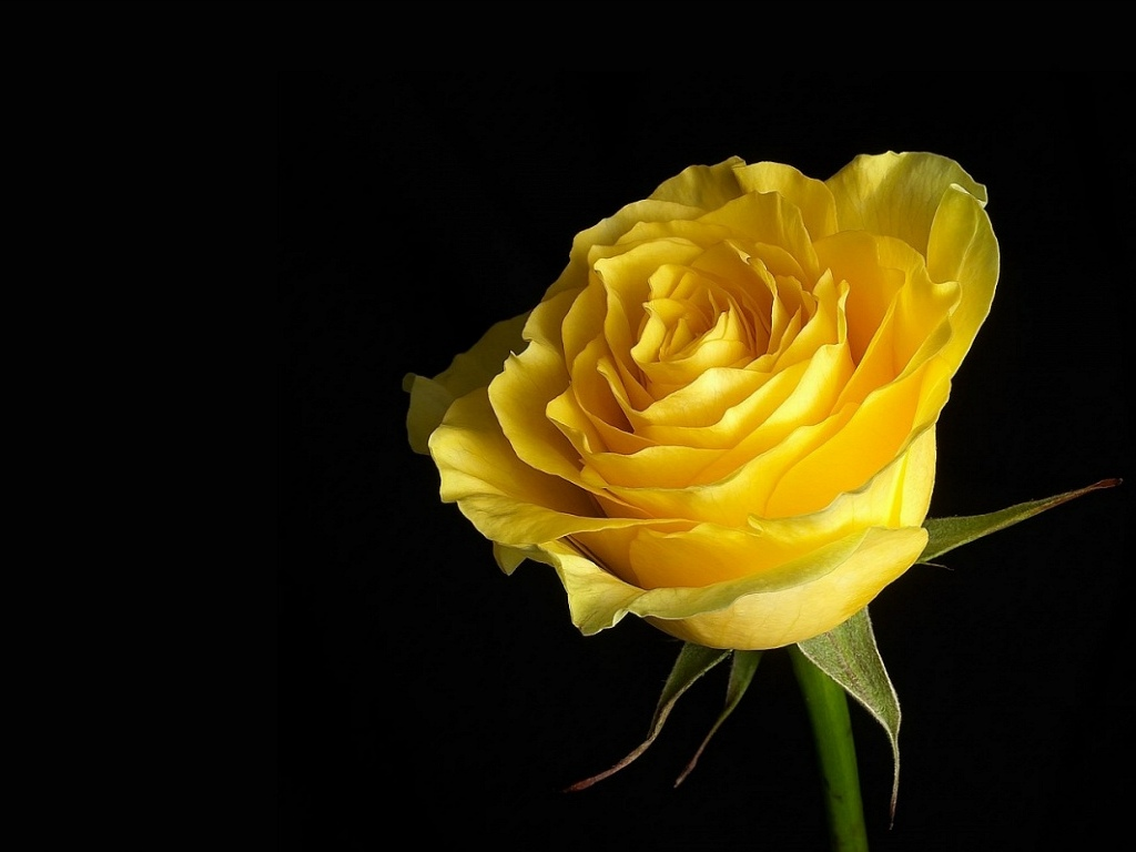 Free pictures of yellow flowers stock Download free 25 most beautiful & best fresh Yellow Flower ... stock