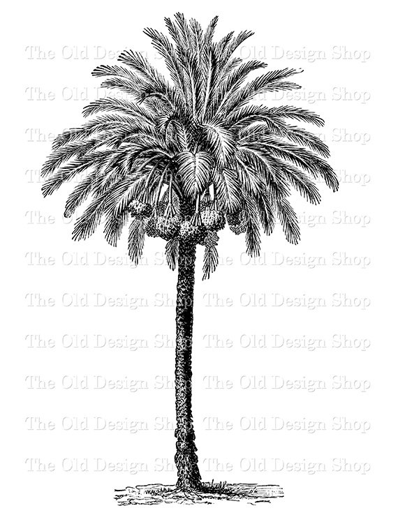 Free printable clipart of old world palm trees clip art black and white library Date Palm Tree Clip Art Botanical Phoenixdactylifera Vintage Digital ... clip art black and white library