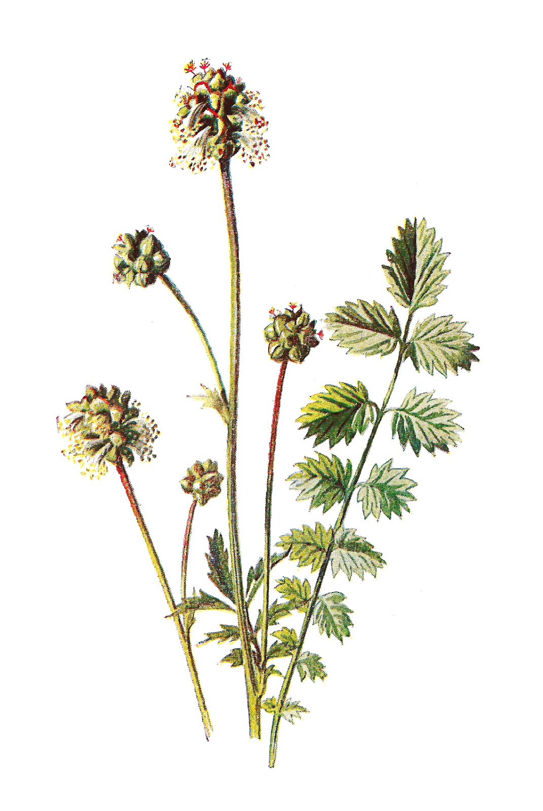 Rustic flower clipart clip art stock Antique Images: Free Flower Graphic: Wildflower Clip Art of Salad ... clip art stock