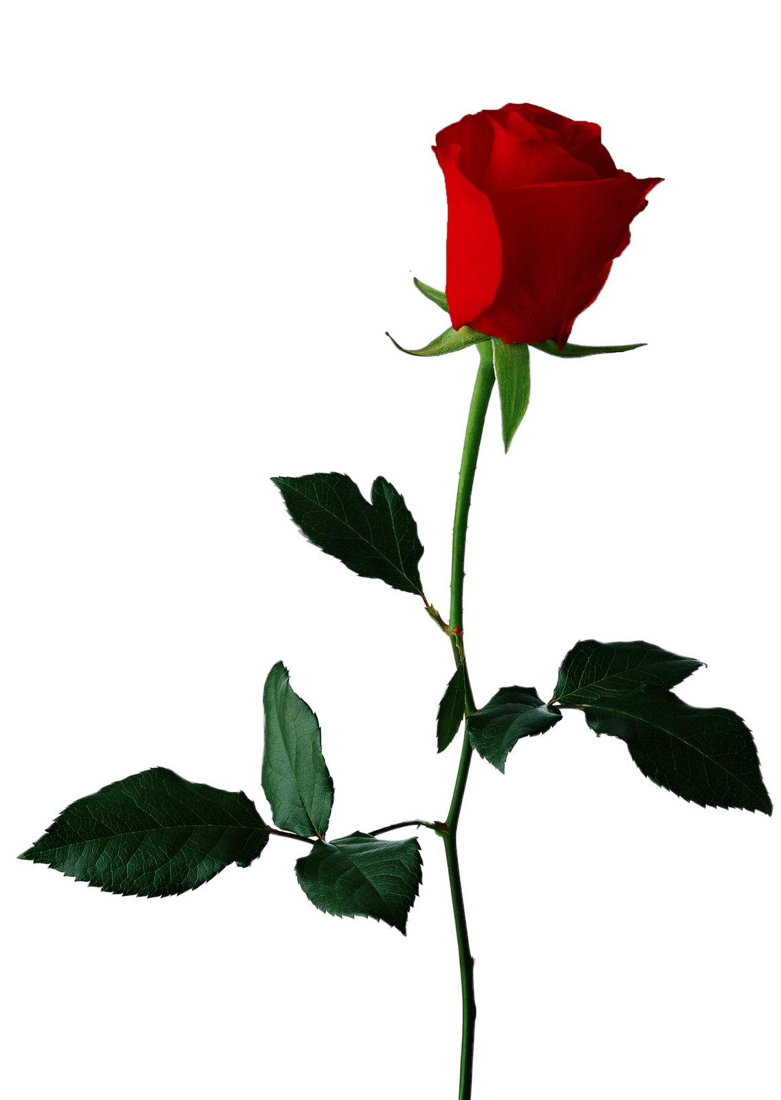 Free single rose clipart vector royalty free stock Free Single Rose Cliparts, Download Free Clip Art, Free Clip Art on ... vector royalty free stock