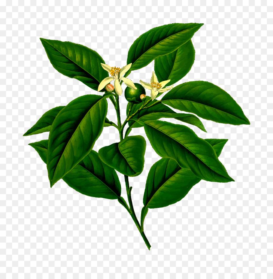 Free transparent lemon stem leaf clipart vector freeuse download Lemon Tree png download - 1279*1280 - Free Transparent Lemon png ... vector freeuse download