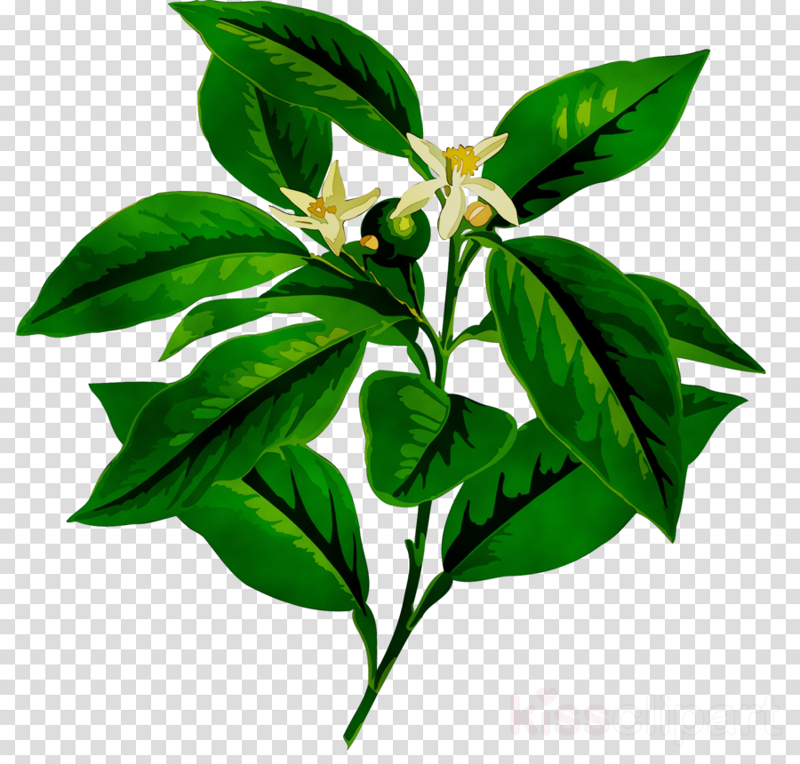 Free transparent lemon stem leaf clipart vector freeuse download Lemon Flower clipart - Lemon, Flower, Plant, transparent clip art vector freeuse download