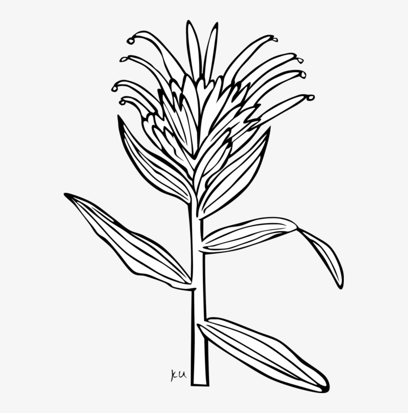 Free transparent new york rose coloring page clipart clip art library Giant Red Indian Paintbrush Coloring Book Wyoming Indian - Indian ... clip art library