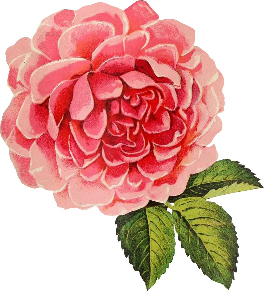 Free vintage flower clipart clip freeuse download Free Graphic Friday - Vintage Cabbage Rose - Avalon Rose Design clip freeuse download