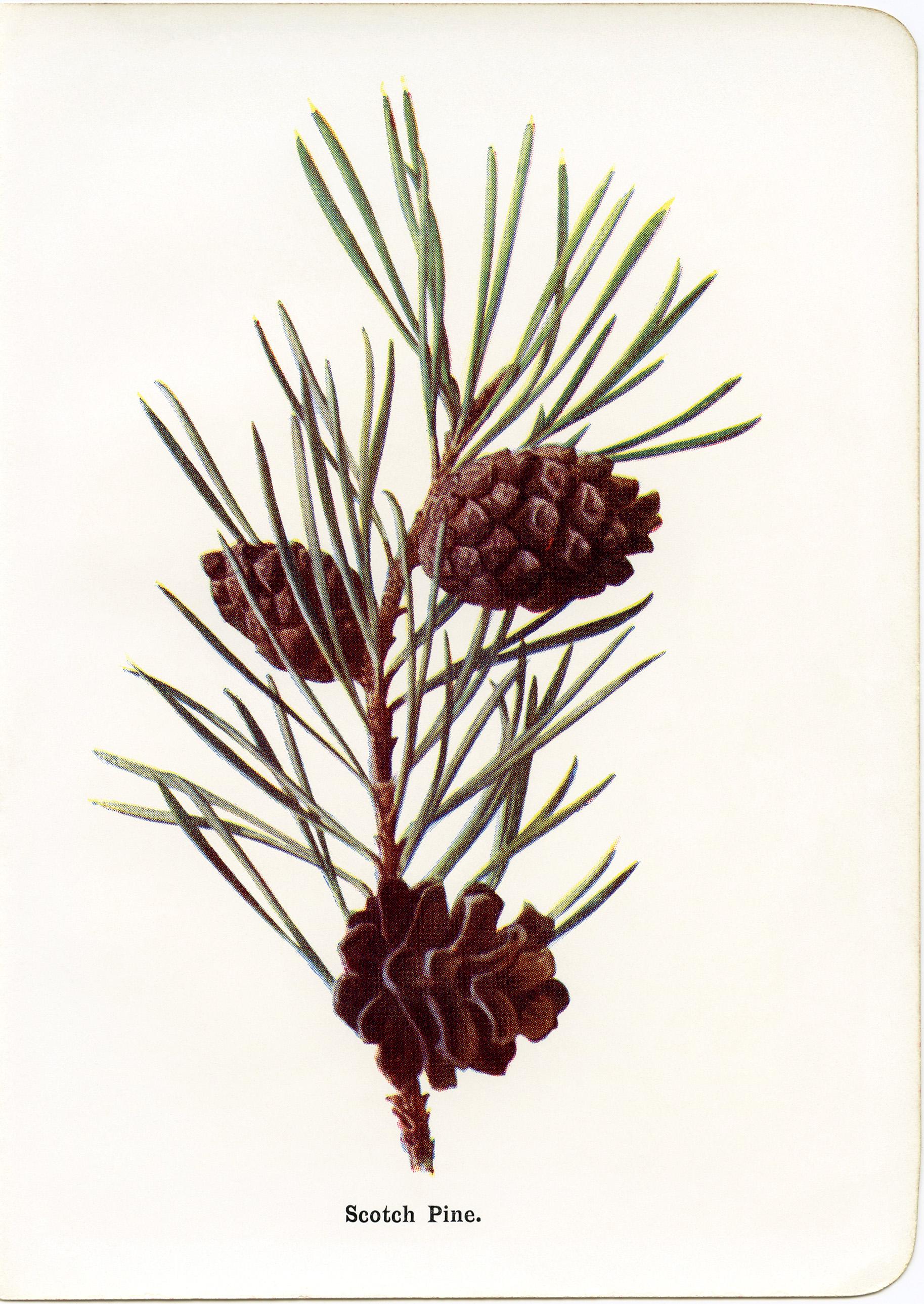 Free vintage pine cone holiday clipart png freeuse download Vintage Scotch Pine Botanical Illustration - Old Design Shop Blog png freeuse download