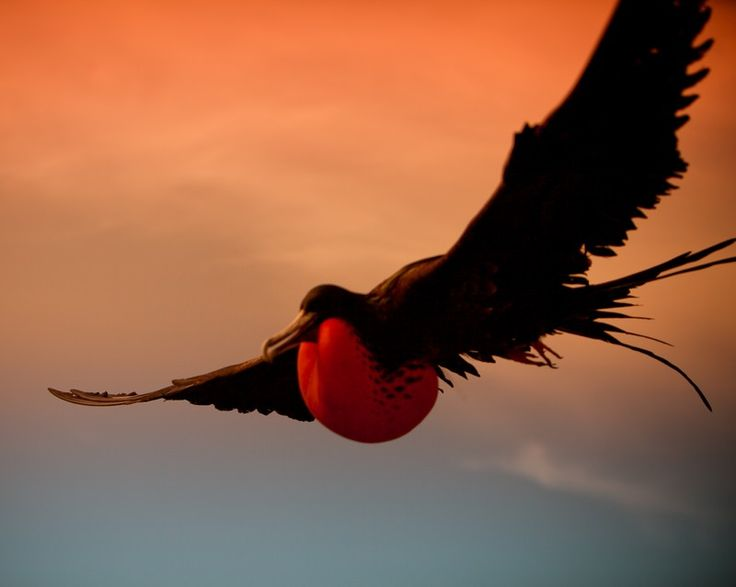 Frigate bird speed clip black and white download 17 Best images about Frigate birds on Pinterest   Antigua ... clip black and white download