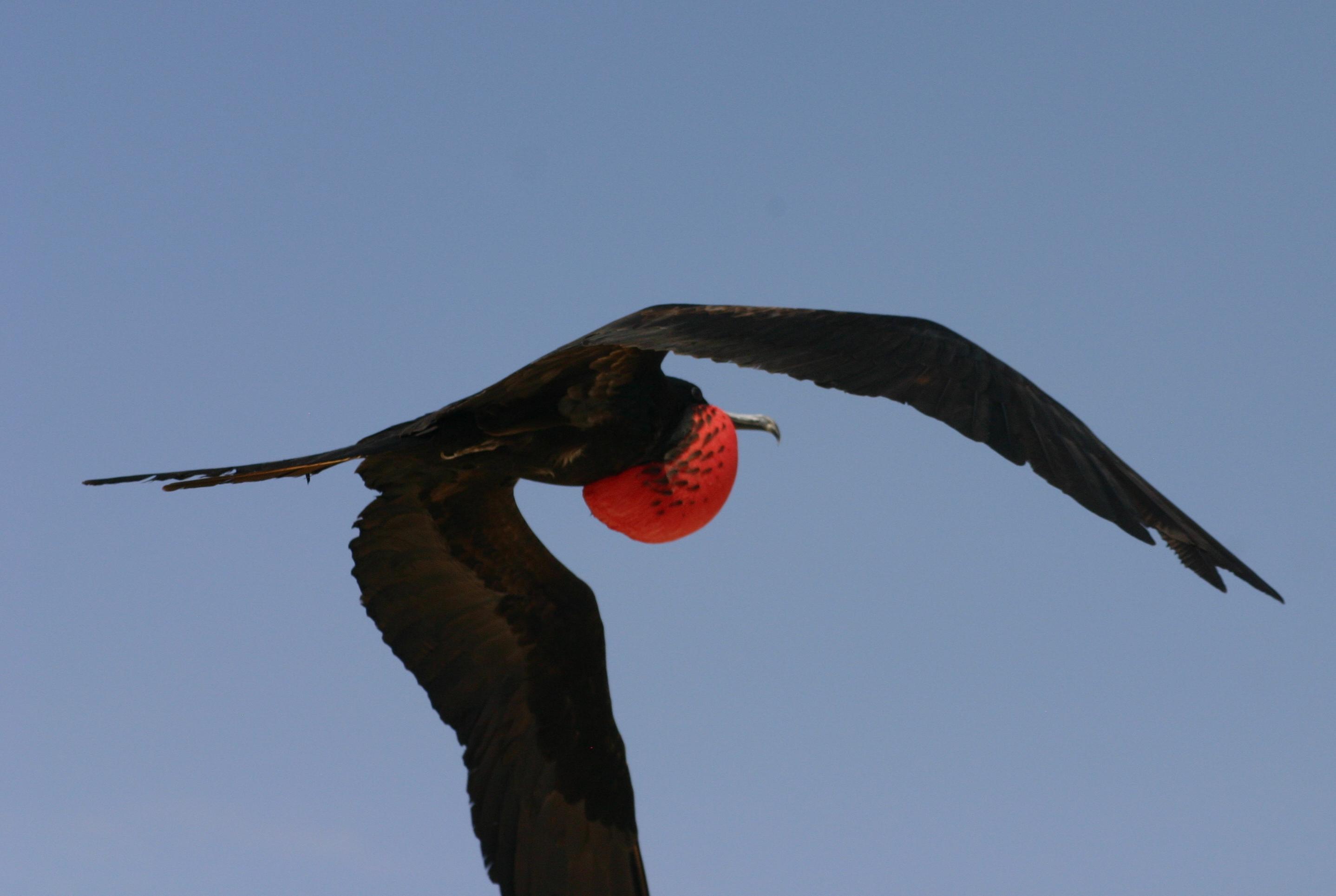 Frigate bird speed graphic freeuse download File:Male greater frigate bird in flight.jpg - Wikimedia Commons graphic freeuse download