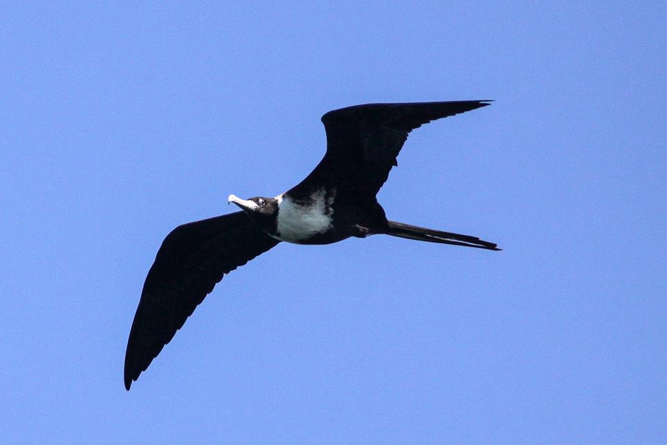 Frigate bird speed banner library download Top 20 fast Animals   All Animal Facts banner library download