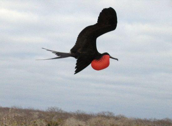 Frigate bird speed svg black and white download Top 10 Birds with Flying Speed svg black and white download