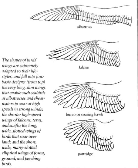 Frigate bird speed graphic royalty free library SydHall graphic royalty free library
