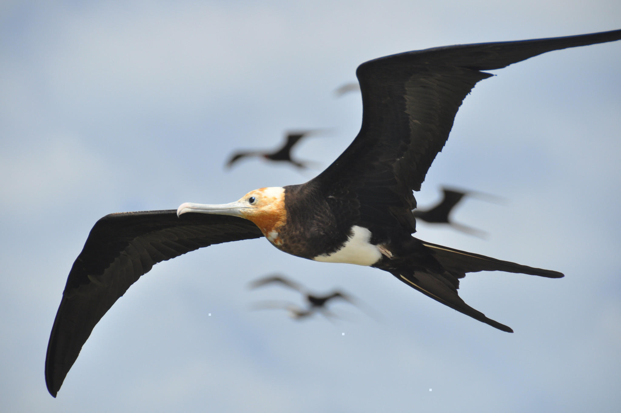 Frigate bird speed jpg free library 10 Fastest Animals on Earth - puremedia.info jpg free library