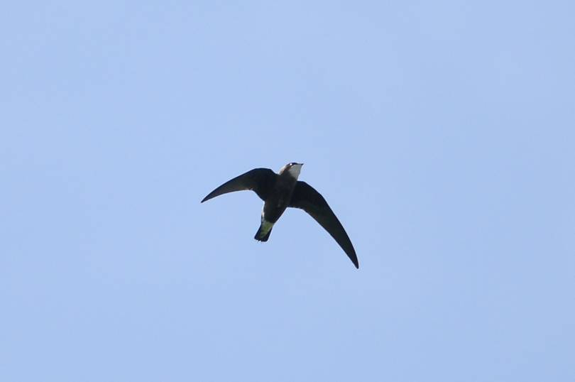 Frigate bird speed image black and white stock Top Five Of Anything: The Top 5 Fastest Birds in the World image black and white stock