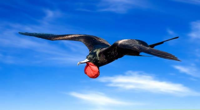 Frigate bird speed banner Fastest Bird in The World banner