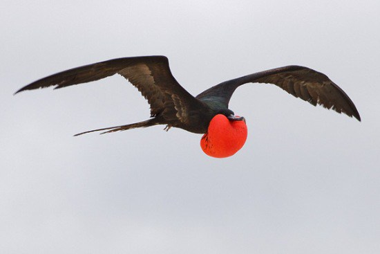 Frigate bird speed freeuse Top 10 Birds with Flying Speed freeuse