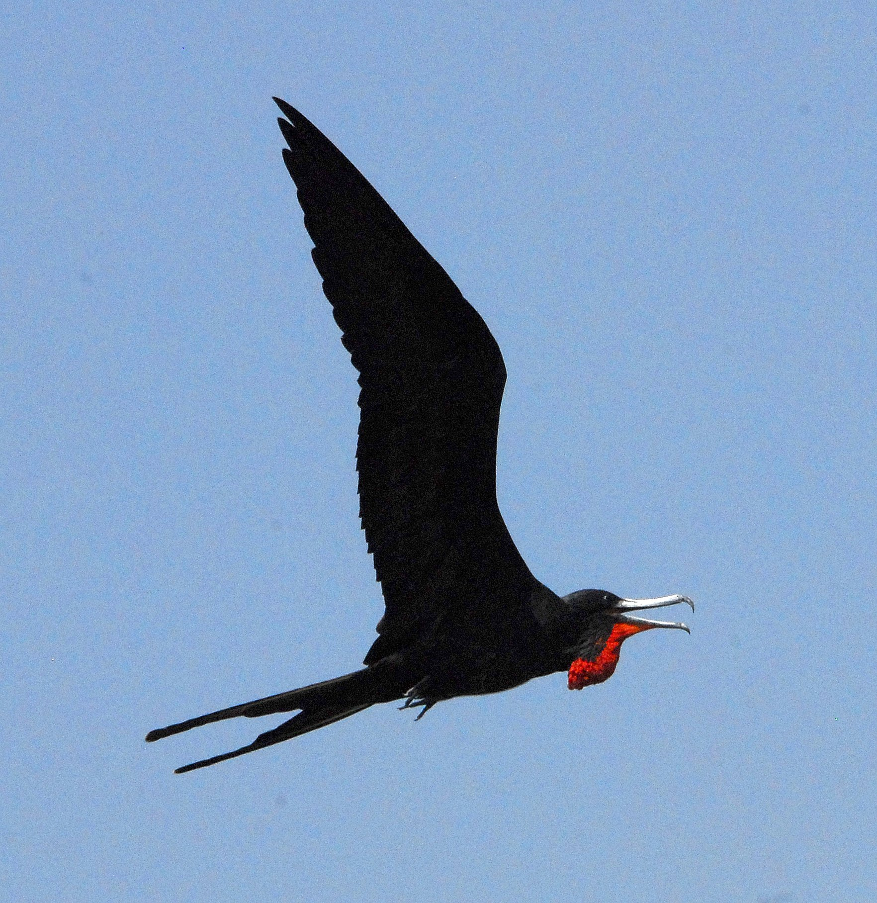 Frigate bird speed clipart freeuse library File:Magnificent Frigate Bird in Flight - Flickr - Andrea ... clipart freeuse library