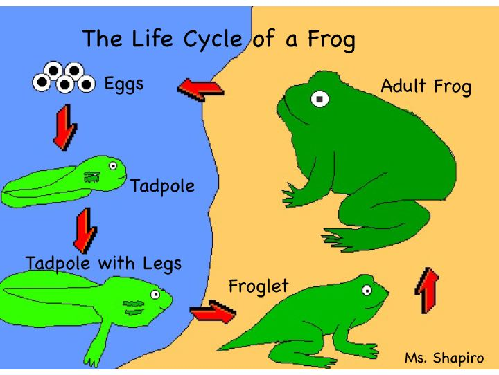 Frog cycle clipart png library stock The Life Cycle Of A Frog - Lessons - Tes Teach png library stock