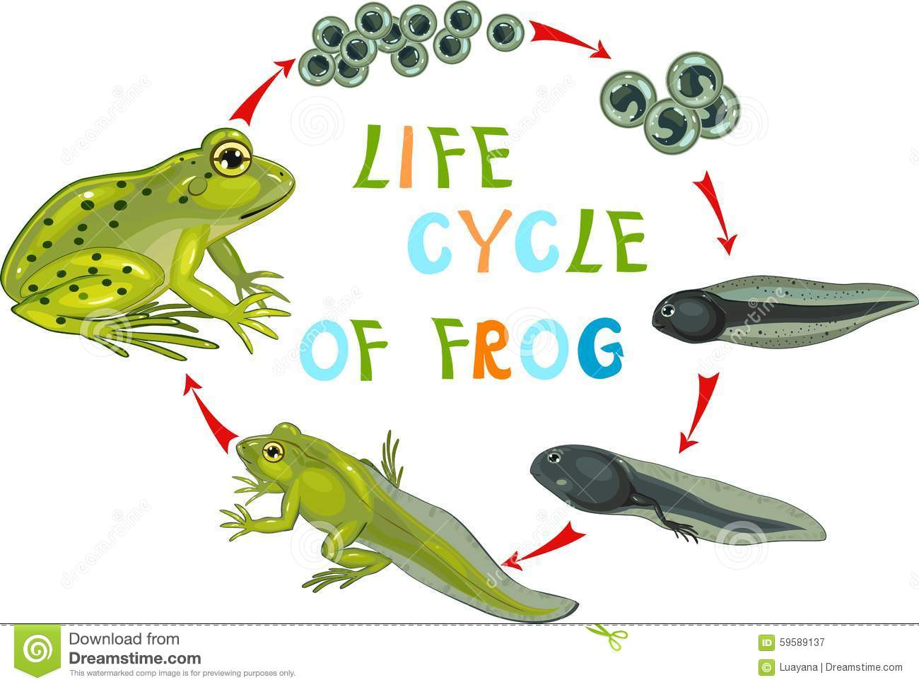Frog cycle clipart banner freeuse Life Cycle Of The Frog Royalty Free Stock Photo - Image: 30840015 banner freeuse