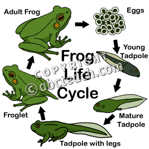 Frog cycle clipart image download Life Cycle And Food Web - Lessons - Tes Teach image download