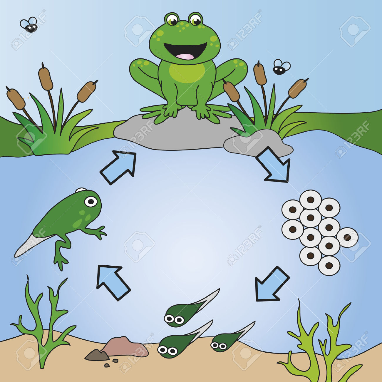 Frog cycle clipart image royalty free 6,516 Life Cycle Stock Vector Illustration And Royalty Free Life ... image royalty free