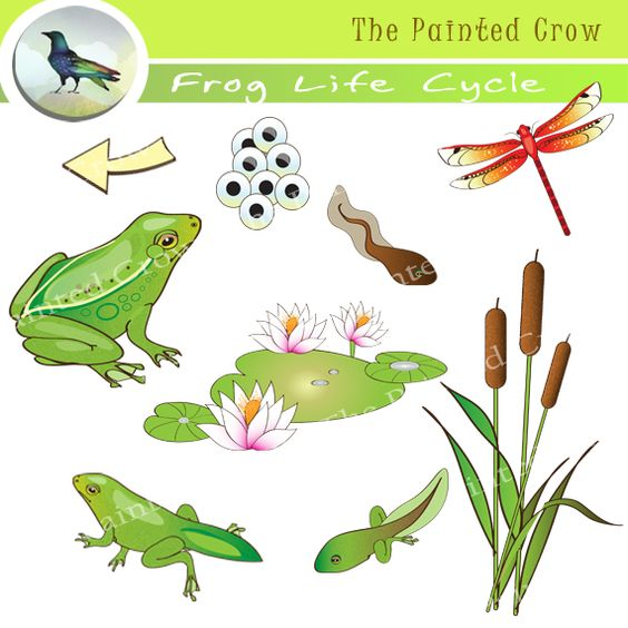 Frog cycle clipart clip library library Frog Life Cycle Clip Art - 18 Piece Set - 5 Stages of Frog ... clip library library