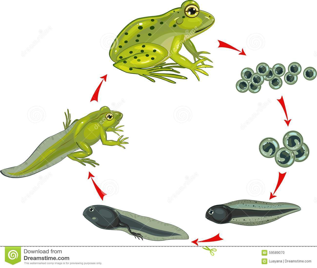 Frog life cycle clipart graphic library stock Frog Life Cycle. Amphibian Metamorphosis. Stock Vector - Image ... graphic library stock