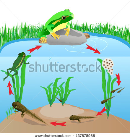Frog life cycle clipart picture black and white download Frog Life Cycle Stock Images, Royalty-Free Images & Vectors ... picture black and white download