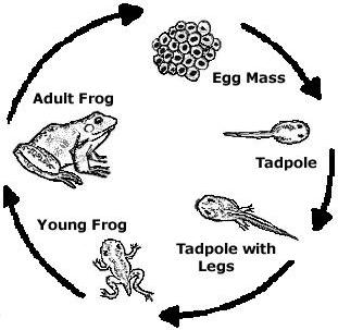 Frog life cycle clipart clip art freeuse library 17 Best images about Frogs on Pinterest | Raising, Life cycles and ... clip art freeuse library
