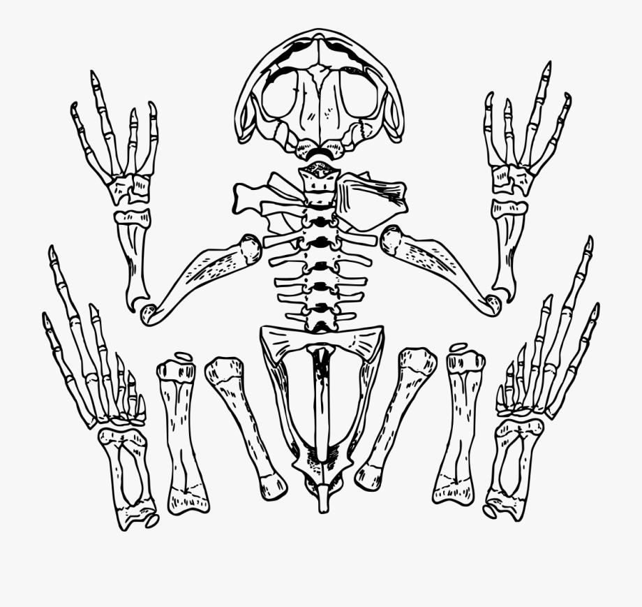 Frog skeleton clipart transparent stock Fingers Drawing Skeleton - Transparent Background Frog Skeleton ... transparent stock