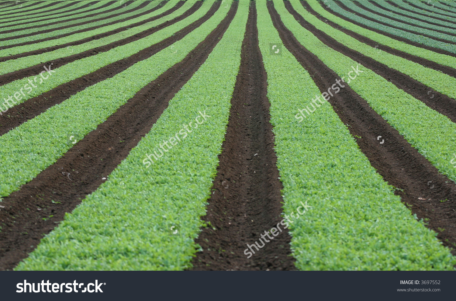 Garden row clipart vegetable svg freeuse stock Market Garden Rows Of Young Vegetables Stock Photo 3697552 ... svg freeuse stock