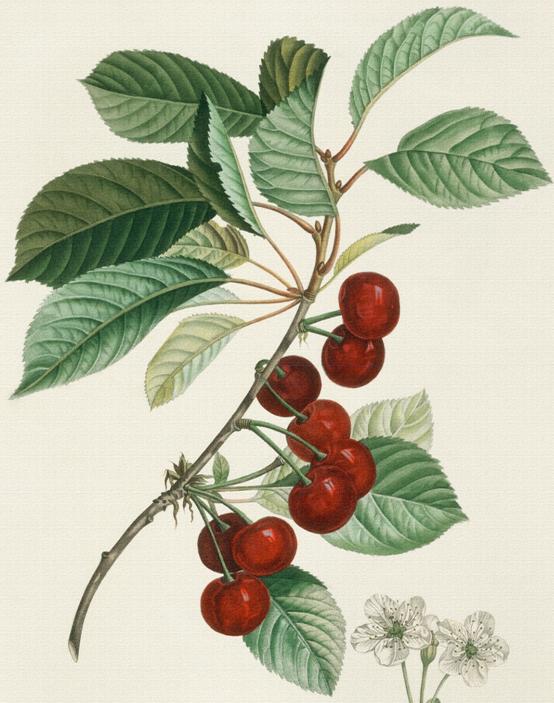 George washington cherry tree clipart transparent library vintage accessories for the pics | Ботаническое настроение ... transparent library