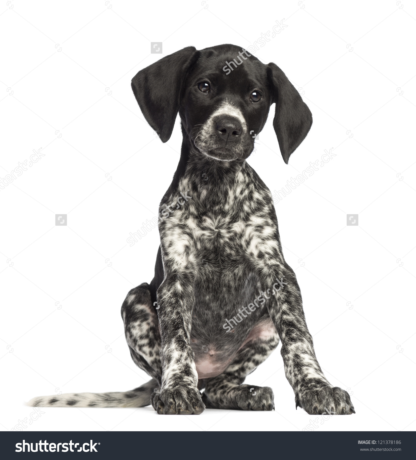 German longhaired pointer clipart png library German Shorthaired Pointer 10 Weeks Old Stock Photo 121378186 ... png library