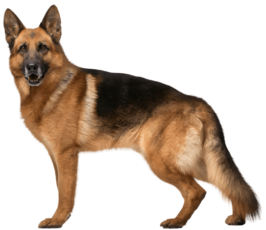 German shepherd dog clipart clip art royalty free german shepherd dog png - Free PNG Images | TOPpng clip art royalty free