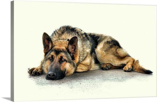 German shepherd laying down clipart jpg royalty free stock A German shepard laying down, looking sad | helene renee brown in ... jpg royalty free stock