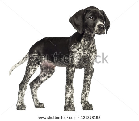 German shorthaired pointer clipart clipart free stock German Shorthair Pointer Stock Photos, Royalty-Free Images ... clipart free stock