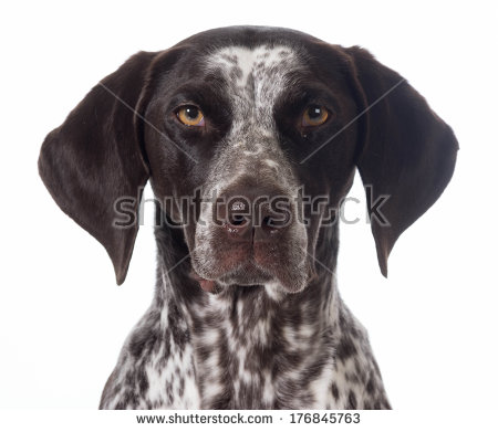 German shorthaired pointer clipart vector black and white German Shorthair Pointer Stock Photos, Royalty-Free Images ... vector black and white