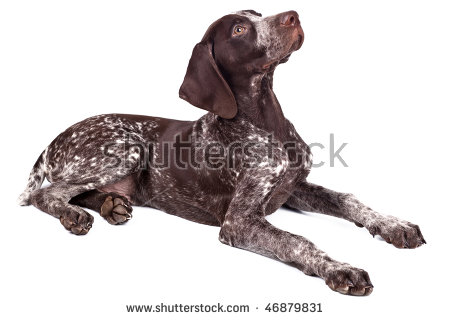 German shorthaired pointer clipart clipart freeuse download German Shorthair Pointer Stock Photos, Royalty-Free Images ... clipart freeuse download