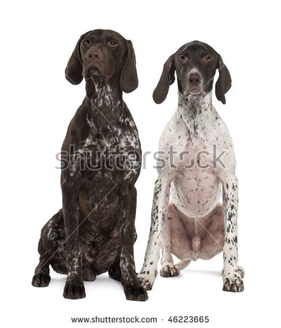 German shorthaired pointer clipart jpg free stock German Shorthair Pointer Stock Photos, Royalty-Free Images ... jpg free stock