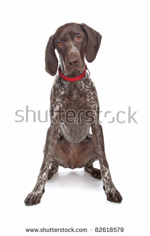 German wirehaired pointer clipart vector royalty free library German Shorthair Pointer Stock Photos, Royalty-Free Images ... vector royalty free library