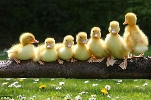 Get your ducks all in a row clipart graphic free Ready to Sell Your Inn? Get All Your Ducks in a Row - The B&B Team graphic free
