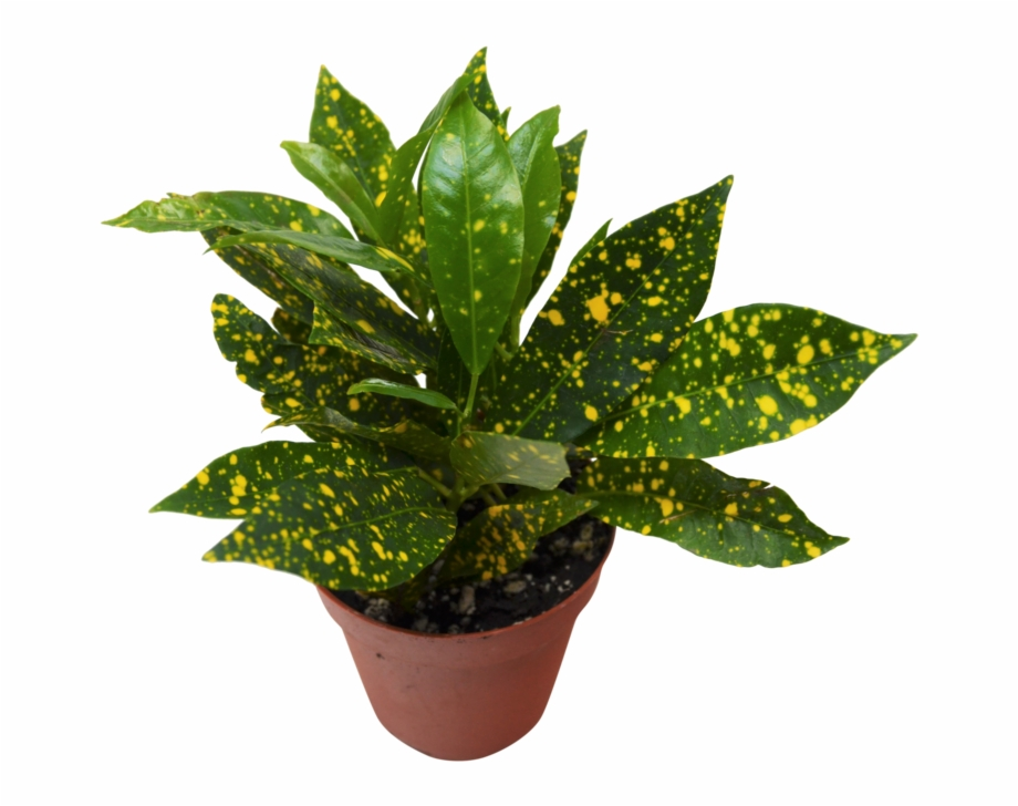 Gold dust buyers in clipart graphic freeuse stock gold Dust\' Croton Plant - Gold Dust Croton Plant Free PNG Images ... graphic freeuse stock