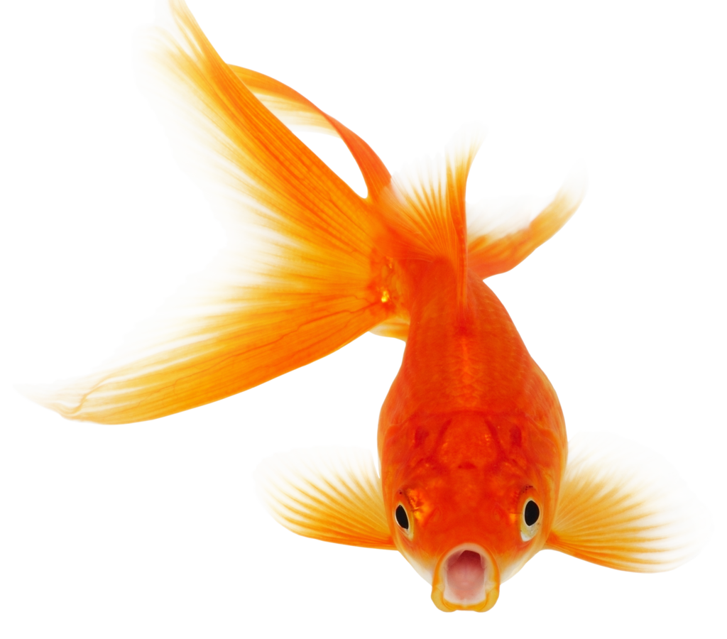 Golden fish clipart vector freeuse Download HD Wallpaper For Free | HD Free Download Images vector freeuse