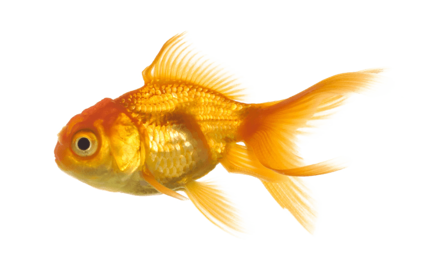 Goldfish with crown clipart clip black and white gold fish png - Free PNG Images | TOPpng clip black and white