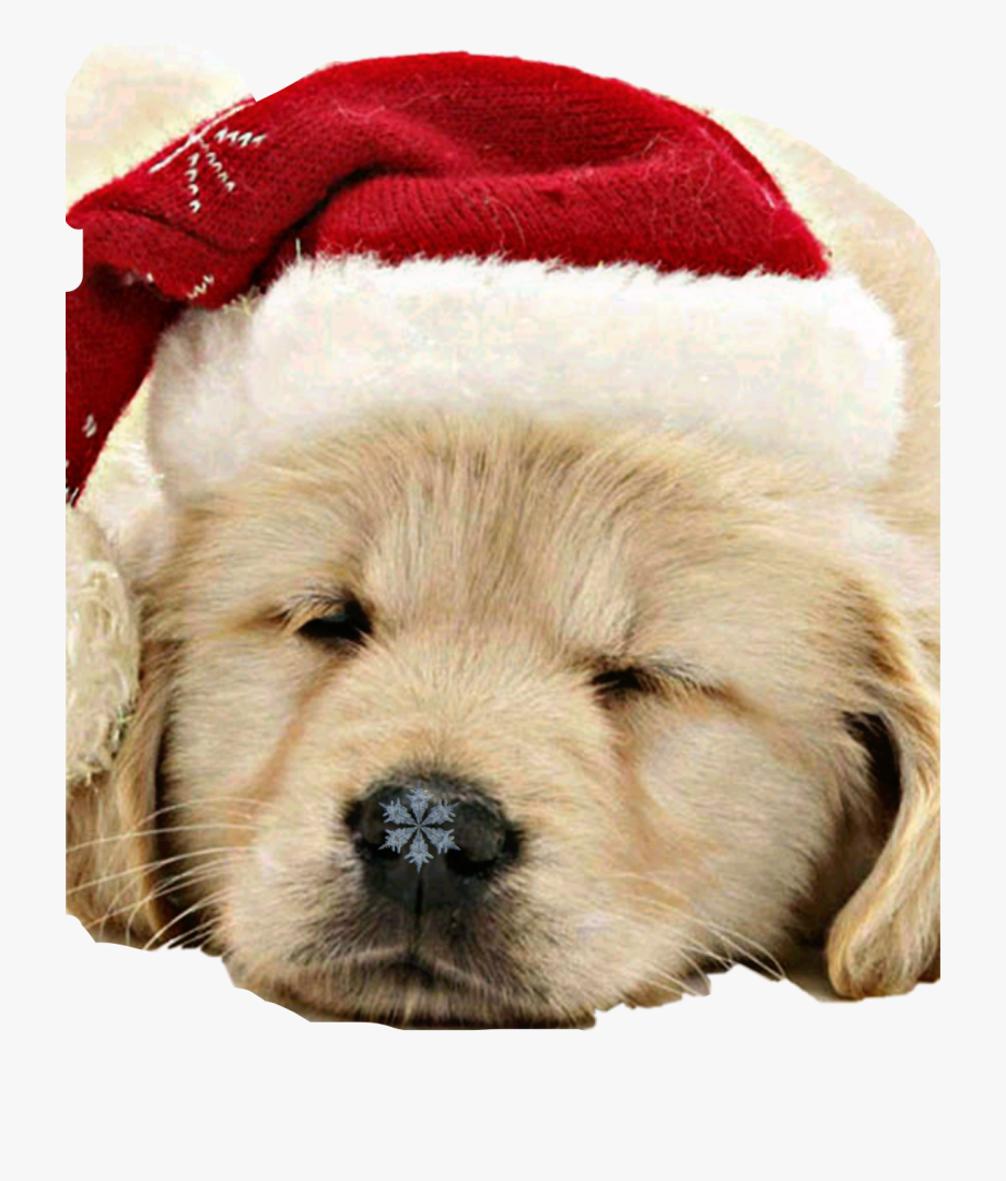 Golden retriever christmas clipart vector freeuse Merry Christmas Puppies Golden Retriever #2452425 - Free Cliparts on ... vector freeuse