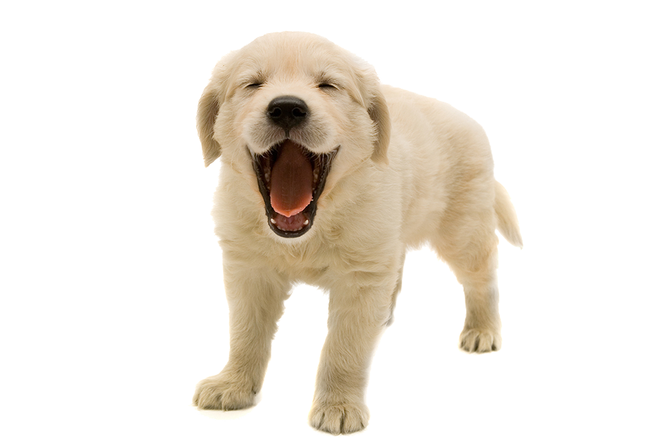 Golden retriever dog clipart png black and white download PNG HD Of Puppies Transparent HD Of Puppies.PNG Images. | PlusPNG png black and white download