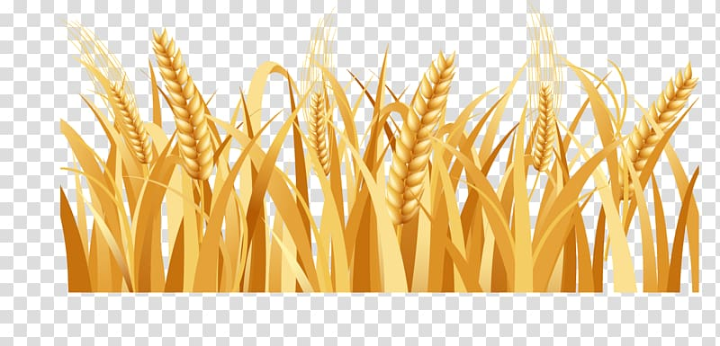 Golden wheat clipart svg library Rice wheat illustration, Rice Barley Arable land Farm, Golden wheat ... svg library