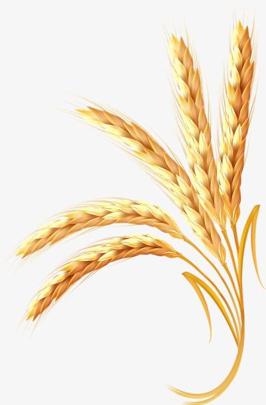 Golden wheat clipart svg Golden Wheat PNG, Clipart, Golden, Golden Clipart, Golden Wheat ... svg