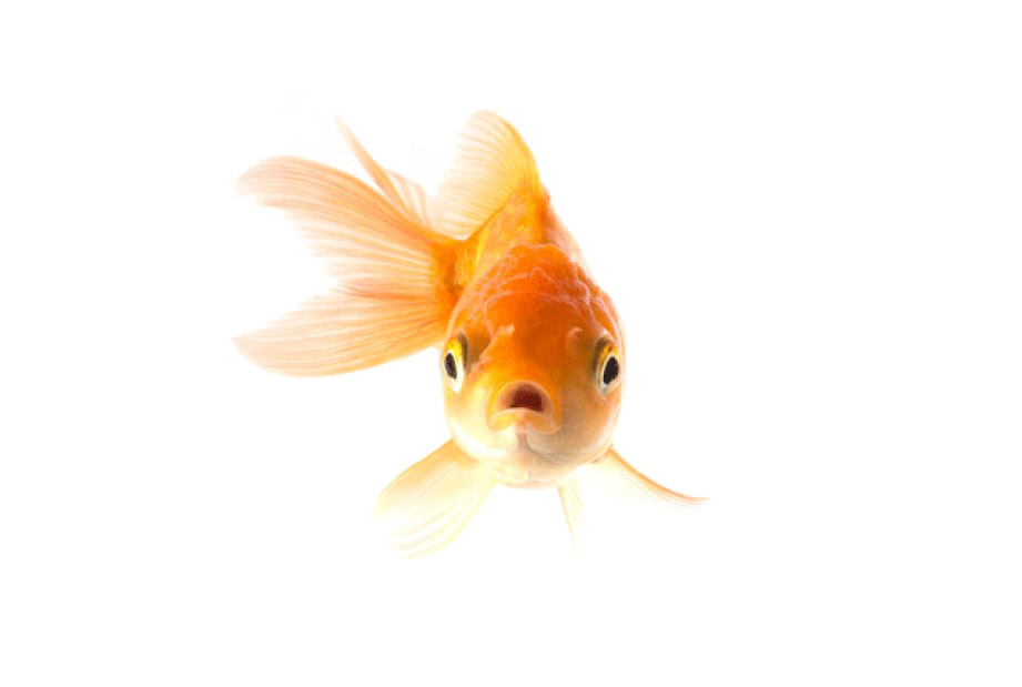 Goldfish with crown clipart clipart library stock Goldfish PNG Transparent Picture | PNG Mart clipart library stock