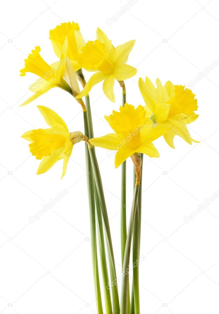 Google images daffodils banner free stock Daffodils on white background — Stock Photo © Bienchen #2630732 banner free stock