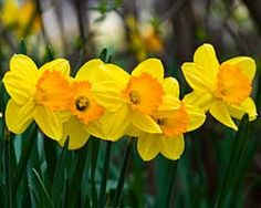 Google images daffodils vector library library daffodils - Google zoeken | Daffodils | Pinterest | Photos, Spring ... vector library library