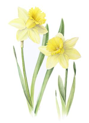 Google images daffodils image free stock Google images daffodils - ClipartFest image free stock